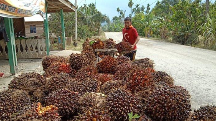 Luar Biasa, Sawit Riau Cetak Sejarah Dijual Rp2.814,8 per Kilogram